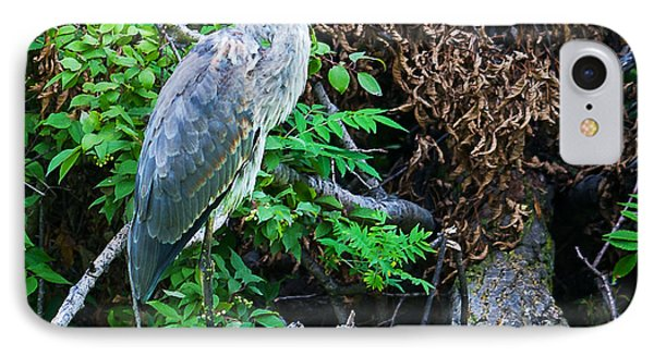 Great Blue Heron Perch IPhone Case by Edward Peterson
