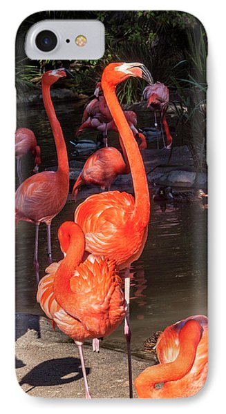 Greater Flamingo IPhone Case by Daniel Hebard