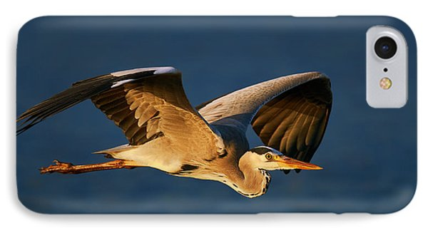 Grey Heron In Flight IPhone Case by Johan Swanepoel