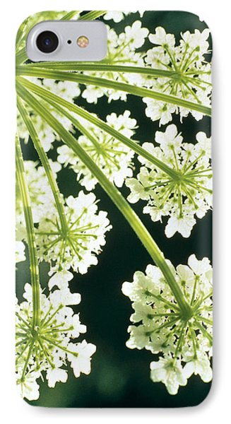 Himalayan Hogweed Cowparsnip IPhone Case by American School
