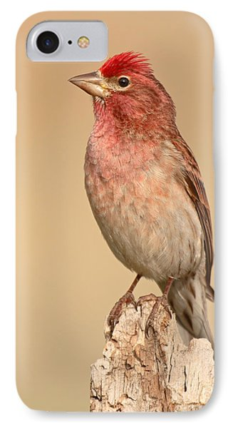 House Finch With Crest Askew IPhone Case by Max Allen