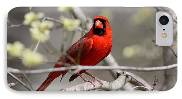 Img_2027-004 - Northern Cardinal IPhone Case