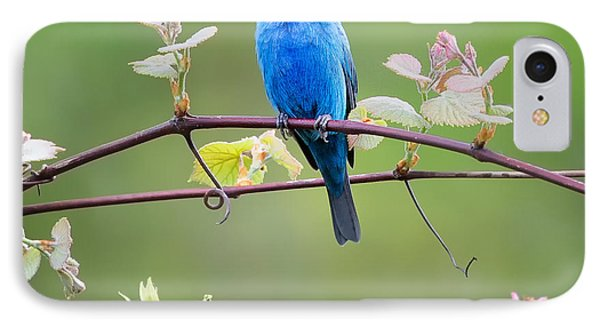 Indigo Bunting Perched Square IPhone 7 Case by Bill Wakeley