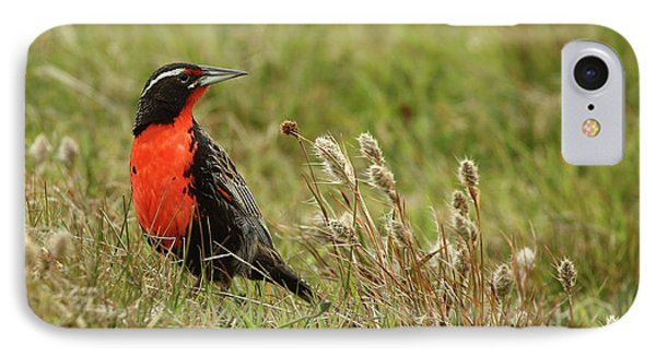 Long-tailed Meadowlark IPhone Case by Bruce J Robinson