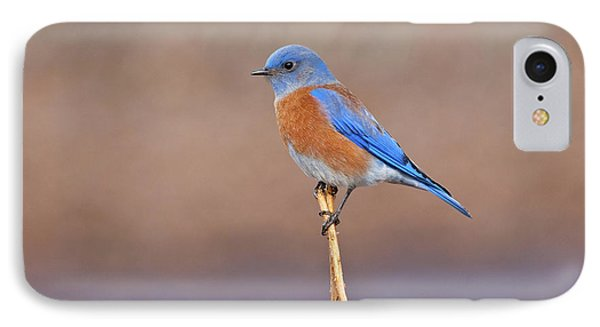 Male Western Bluebird Perched On A Stalk IPhone Case by Jeff Goulden