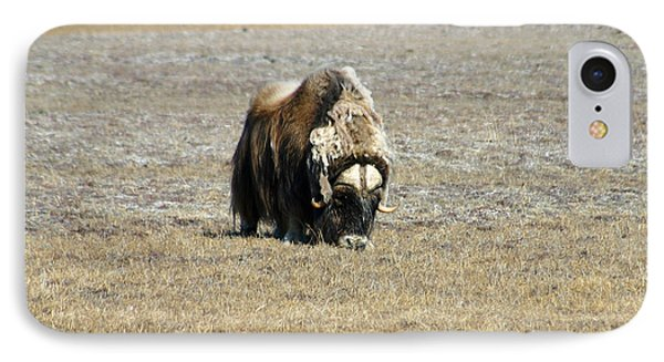 Musk Ox Grazing Phone Case by Anthony Jones