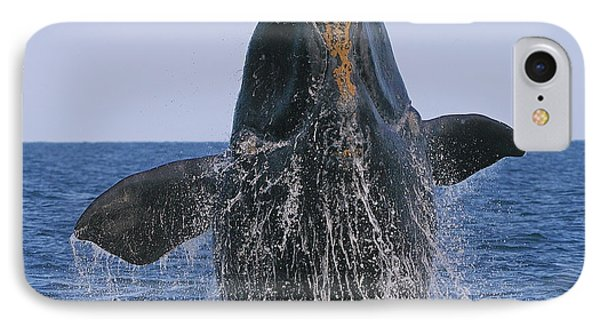 North Atlantic Right Whale Breaching Phone Case by Tony Beck