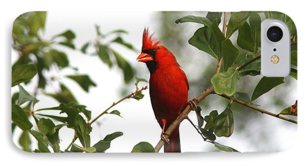 Northern Cardinal - In The Wind IPhone Case