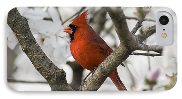 Northern Cardinal And Magnolia 2 - D009893 IPhone Case by Daniel Dempster