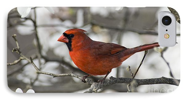 Northern Cardinal And Magnolia 3 - D009896 IPhone Case by Daniel Dempster