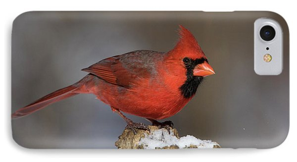 IPhone Case featuring the photograph Northern Cardinal In Winter by Mircea Costina Photography