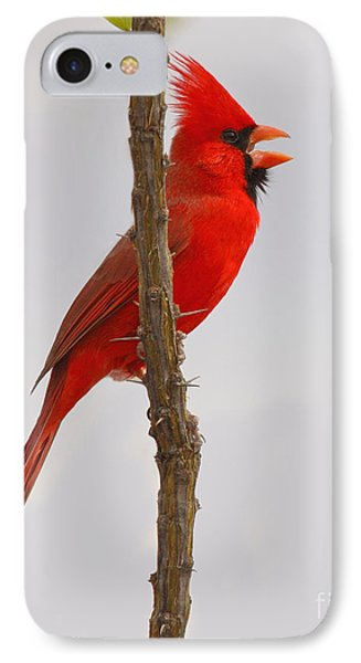 Northern Cardinal Proclaiming Spring Territory IPhone Case by Max Allen