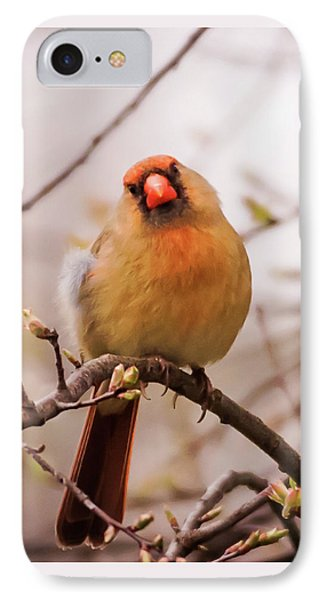 Northern Female Cardinal Pose IPhone Case by Terry DeLuco