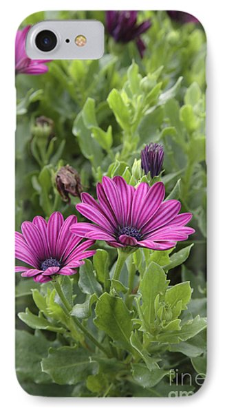 Osteospermum Flowers IPhone Case by Erin Paul Donovan