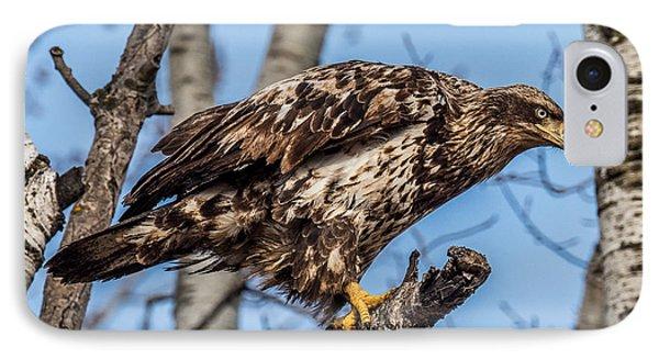 Perched Juvenile Bald Eagle IPhone Case by Paul Freidlund