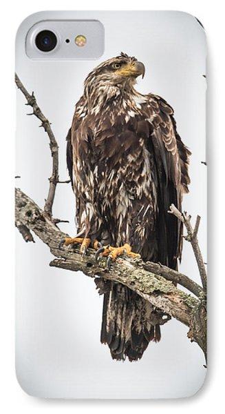 Perched Juvenile Eagle IPhone Case by Paul Freidlund