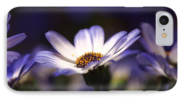 Pericallis On A Cool Spring Evening 2 IPhone Case by Dorothy Lee
