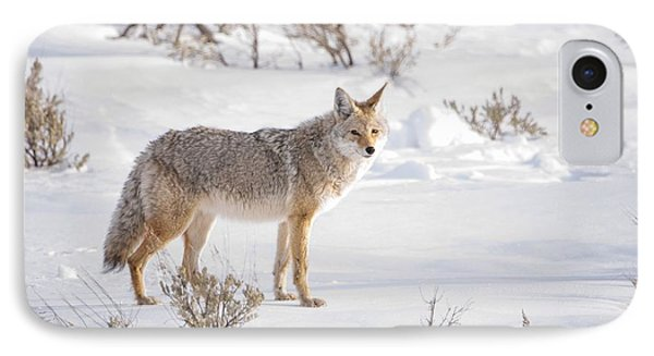 Posing Coyote IPhone Case by Brad Scott