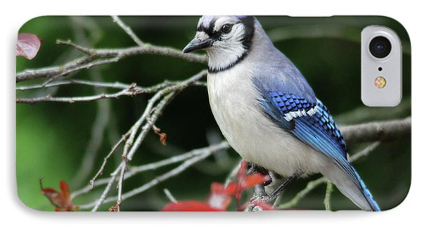 Pretty Blue Jay IPhone Case by Trina Ansel