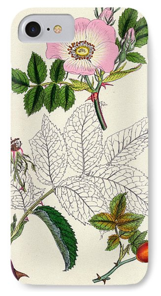 Rosa Canina Common Dog Rose IPhone Case by Unknown