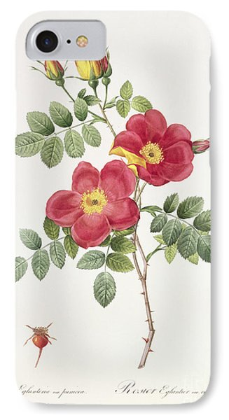 Rosa Eglantera Punicea IPhone Case by Pierre Joseph Redoute