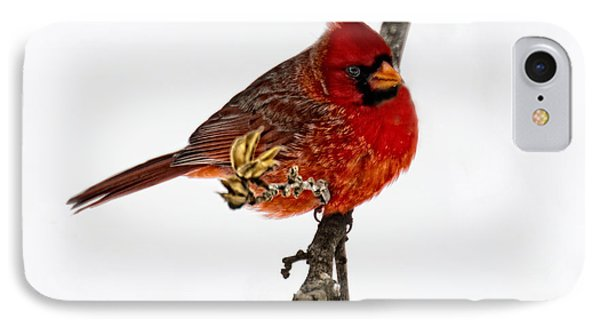 Second Cardinal IPhone Case by Skip Tribby