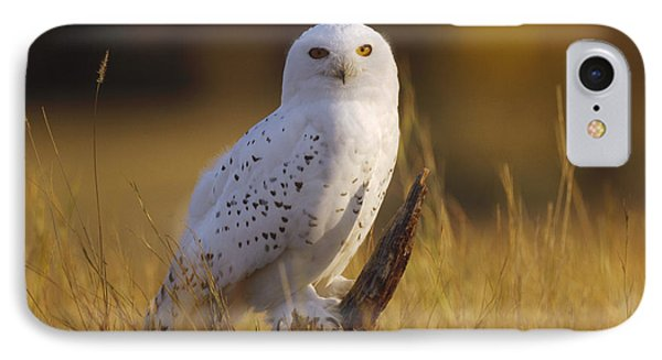 Snowy Owl Adult Amid Dry Grass IPhone Case