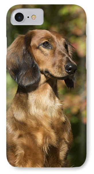 Standard Dachshund  Long-haired Variety IPhone Case by Lynn Stone