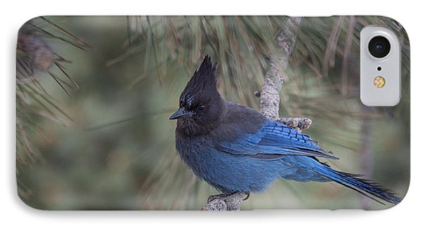Steller's Jay IPhone Case by Tyson Smith