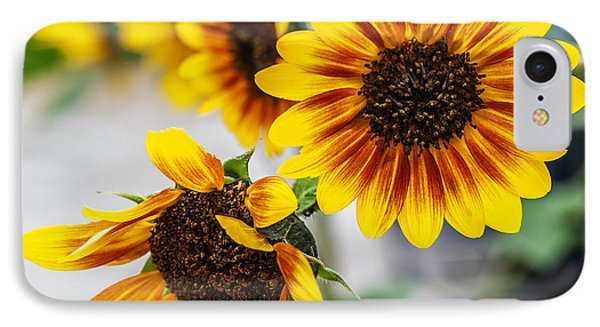 Sun Flowers In Bloom IPhone Case by Edward Peterson