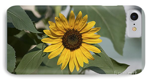 Sunflower 20120718_06a IPhone Case by Tina Hopkins