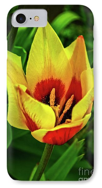 IPhone Case featuring the photograph The Bicolor Tulip by Robert Bales