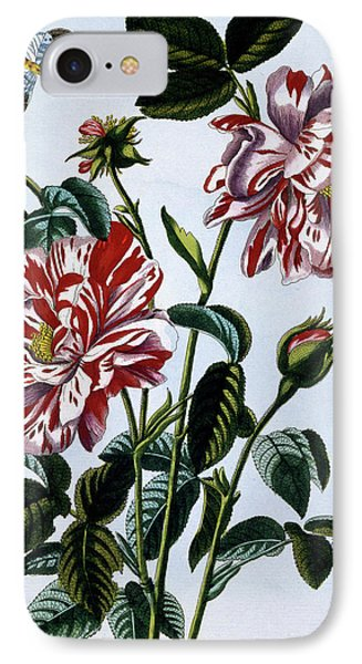The Variegated Rose Of England IPhone Case