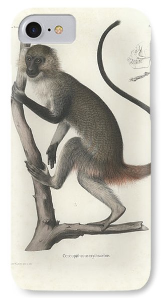 White Throated Guenon, Cercopithecus Albogularis Erythrarchus IPhone Case by J D L Franz Wagner