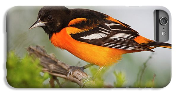 Oriole iPhone 7 Plus Case - Baltimore Oriole Foraging by Larry Ditto