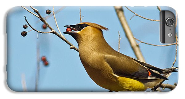 Cedar Waxing iPhone 7 Plus Case - Cedar Waxwing With Berry by Robert Frederick