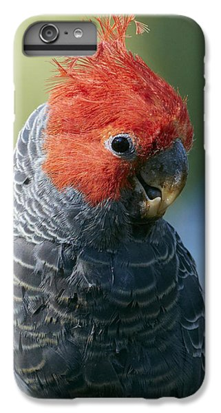 Gang-gang Cockatoo Male Canberra IPhone 7 Plus Case