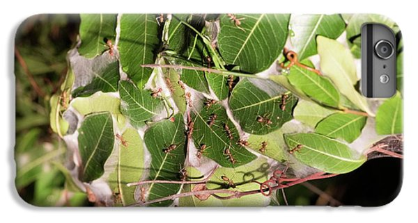 Leaf-stitching Ants Making A Nest IPhone 7 Plus Case by Tony Camacho
