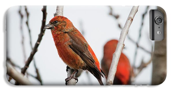 Red Crossbills Perch In A Willow IPhone 7 Plus Case by Robert L. Potts