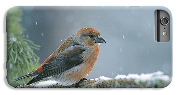 Crossbill iPhone 7 Plus Case - A Red Crossbill Loxia Curvirostra by Michael S Quinton