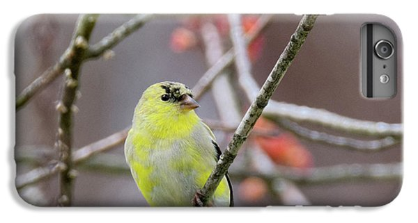 IPhone 7 Plus Case featuring the photograph Molting Gold Finch Square by Bill Wakeley