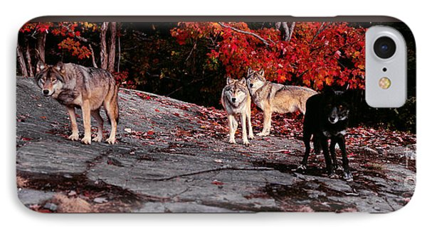 Timber Wolves Under A Red Maple Tree - Pano IPhone Case