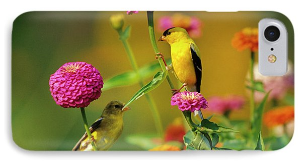 American Goldfinches (carduelis Tristis IPhone Case