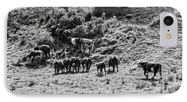 Black And White Photo Of Cows Grazing On Grass In Maine IPhone Case