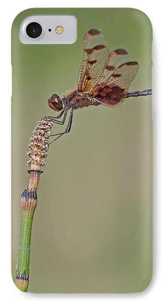Calico Pennant On Horsetail IPhone Case