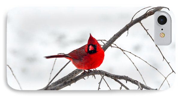 Cardinal On A Branch  IPhone Case