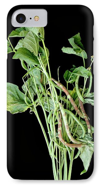 Chocolate Pod Disease In Snap Beans IPhone Case