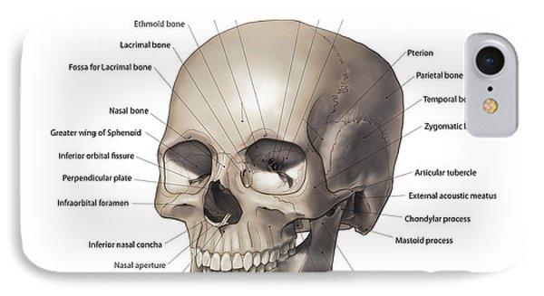 Lacrimal Bone iPhone 8 Cases | Fine Art America