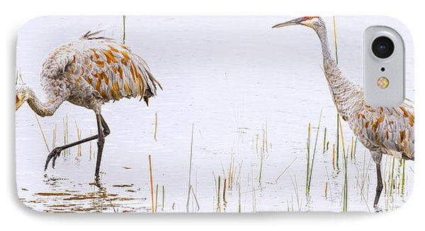 Sand Hill Cranes Foraging For Food IPhone Case