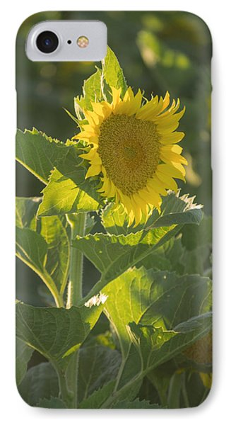 Sunlight And Sunflower 3 IPhone Case